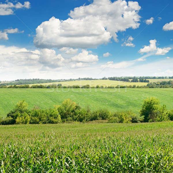 corn field and blue sky Stock photo © alinamd