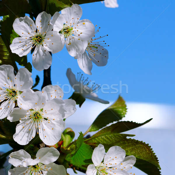 Cereza cielo azul enfoque primer plano superficial Foto stock © alinamd