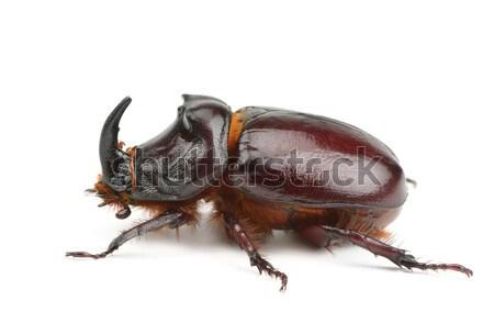 beetle isolated on white background Stock photo © alinamd