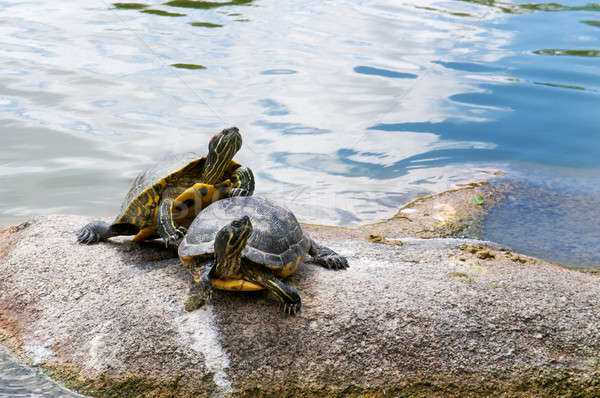 two water turtles on the rock Stock photo © alinamd