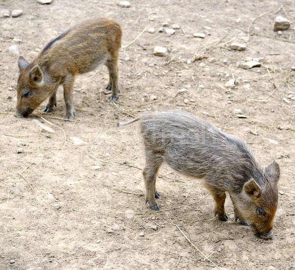 young wild pigs Stock photo © alinamd
