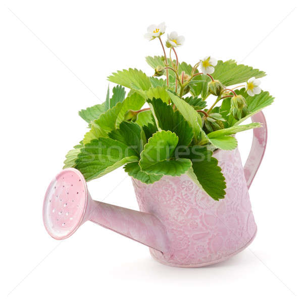Leaves, flowers and immature fruit of strawberries in a watering Stock photo © alinamd