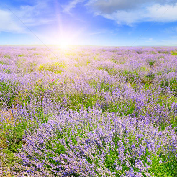 Field with blooming lavender and sunrise Stock photo © alinamd