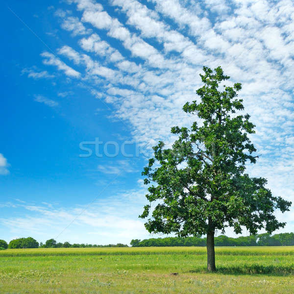 Oak tree on green meadow and sky Stock photo © alinamd