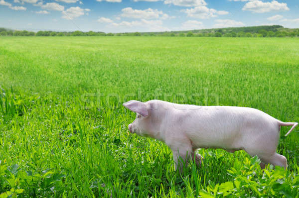 funny pig on a green grass Stock photo © alinamd