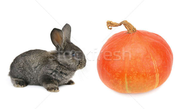 a rabbit and pumpkin isolated on white background Stock photo © alinamd