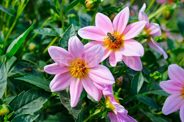 георгин Bee цветок Focus цветы мелкий Сток-фото © alinamd