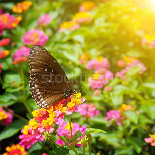 beautiful butterfly on a background of flowers Stock photo © alinamd