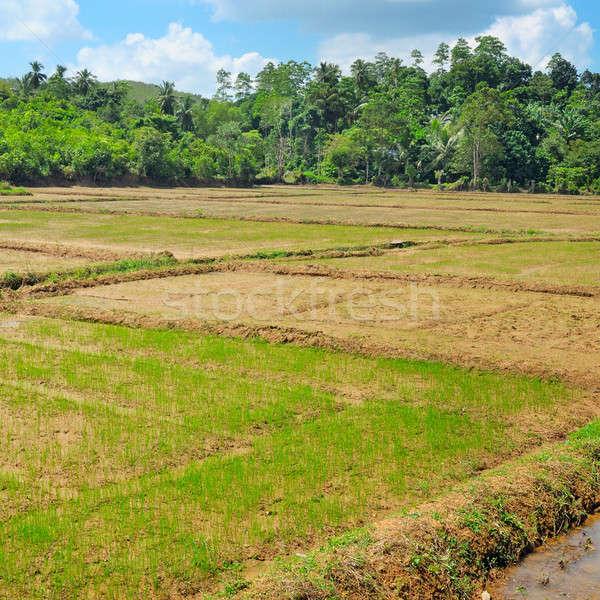 fields with crops of rice Sri Lanka Stock photo © alinamd