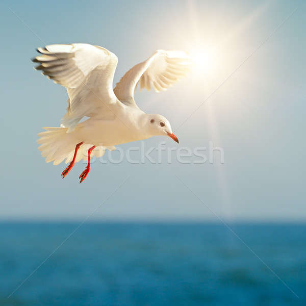 Stock photo: seagull in flight against the blue sky