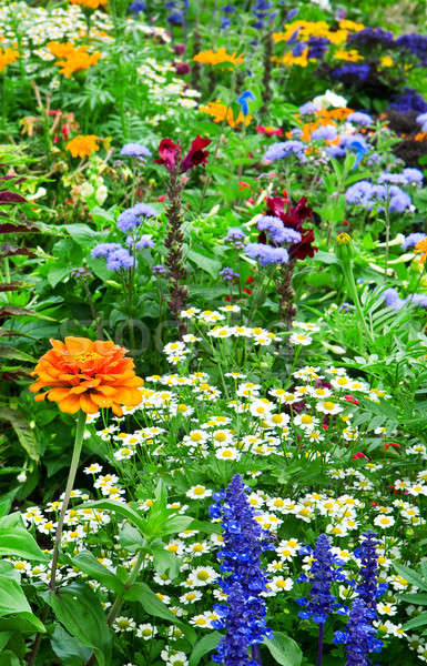flower bed of bright flowers Stock photo © alinamd