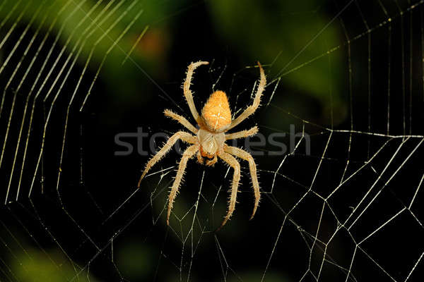 spider web background Stock photo © alinamd