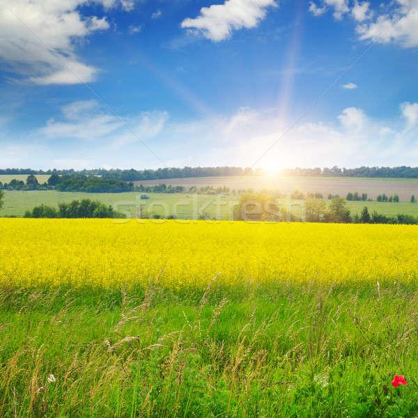 canola field and blue sky Stock photo © alinamd