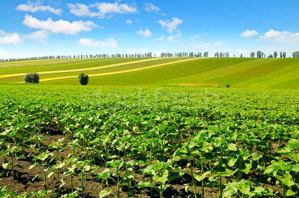 Veld zonnebloem blauwe hemel wolken natuur landschap Stockfoto © alinamd