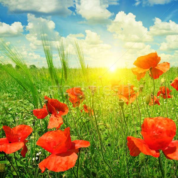 Stockfoto: Klaprozen · veld · stralen · zon · bloem · voorjaar