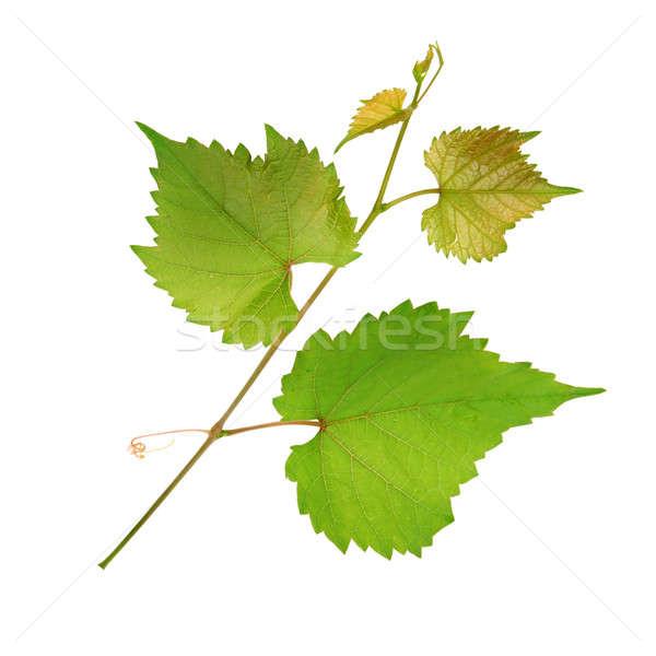Vid hojas aislado blanco primavera vino Foto stock © alinamd