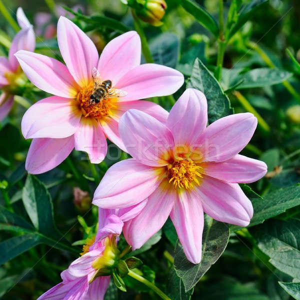 Dalia ape fiore focus fiori poco profondo Foto d'archivio © alinamd