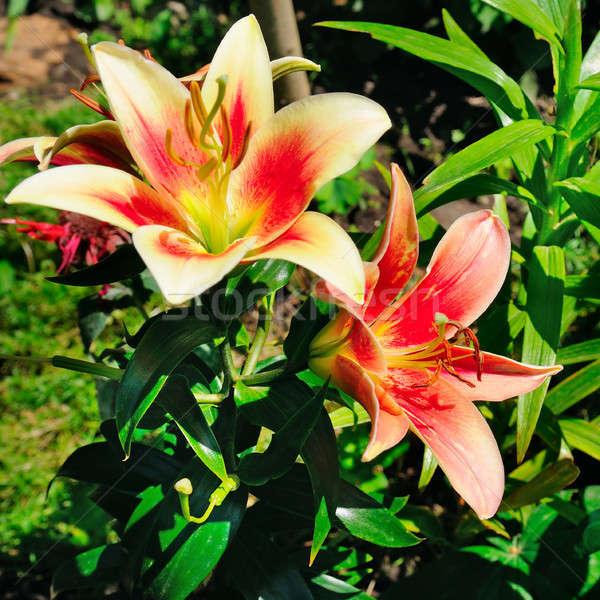 Лилия цветы лет саду элегантный весны Сток-фото © alinamd