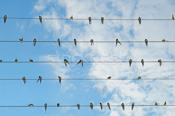 flock of swallows on blue sky Stock photo © alinamd