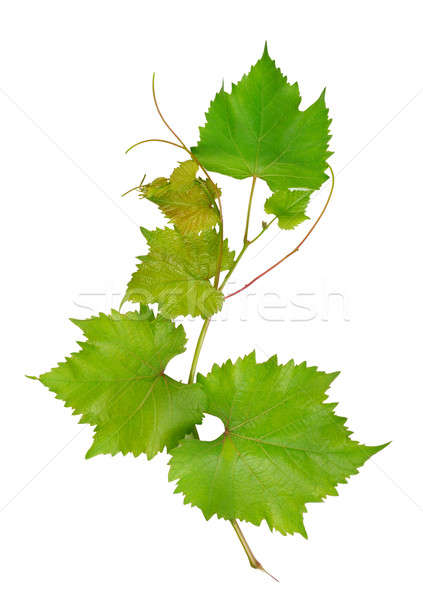 Stock photo: Grape leaves isolated on white background