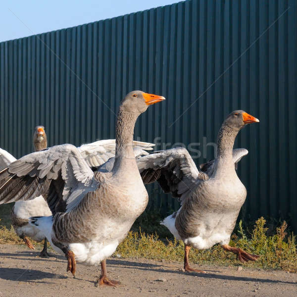 domestic geese on a farm Stock photo © alinamd