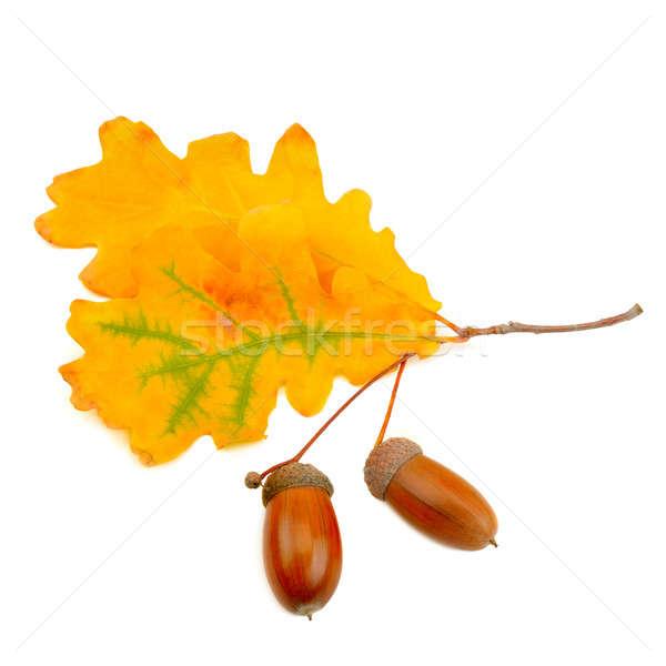 Meşe yaprakları yalıtılmış beyaz arka plan turuncu Stok fotoğraf © alinamd