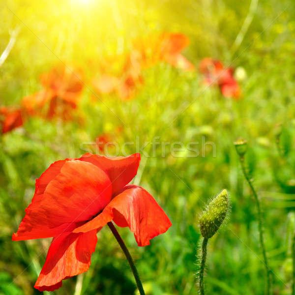 Campo sol flores pôr do sol paisagem Foto stock © alinamd