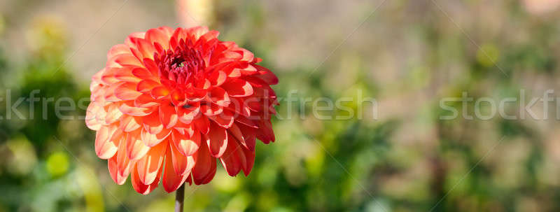 Dahlia on a background of flowerbeds. Stock photo © alinamd