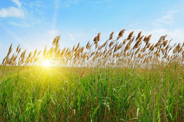 thicket of reeds over blue sky background Stock photo © alinamd