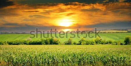 Maíz campo amanecer cielo azul primavera sol Foto stock © alinamd