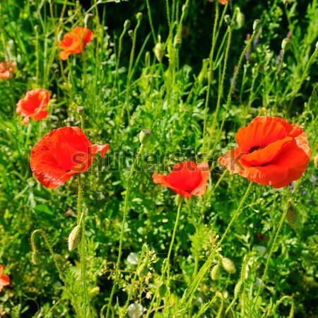 Amapolas hierba verde enfoque flor superficial primavera Foto stock © alinamd