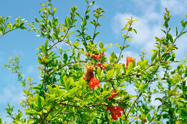 pomegranate tree with flowers and unripe fruit Stock photo © alinamd
