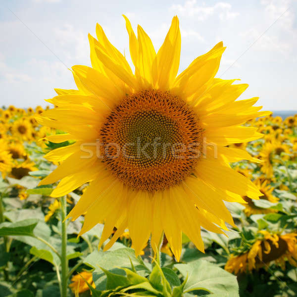 ヒマワリ フィールド 青空 空 花 太陽 ストックフォト © alinamd