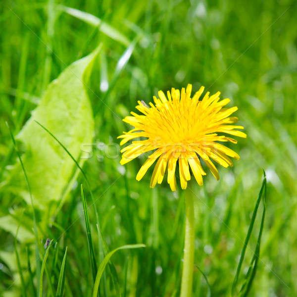 Amarillo dientes de león verde pradera flores primavera Foto stock © alinamd