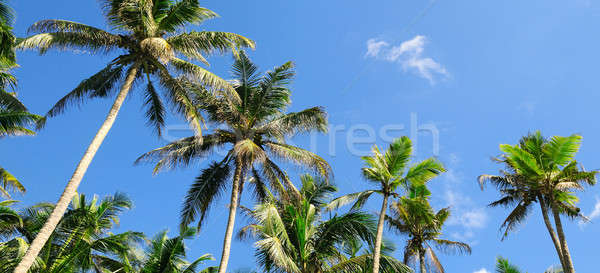 tropical palm trees against the blue sky Stock photo © alinamd