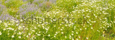 Field with daisies , focus on foreground Stock photo © alinamd