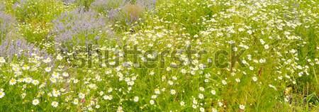 Campo margaridas foco primeiro plano flor primavera Foto stock © alinamd