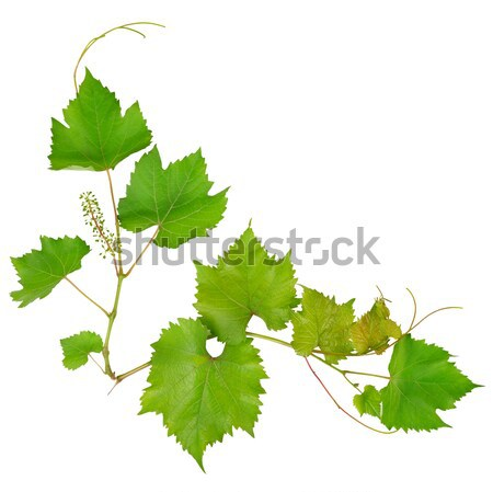 Vine Leaves Isolated On White Background Stock Photo C Alinamd 3270681 Stockfresh