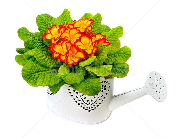 Foto stock: Prímula · isolado · branco · flor · flores · folha