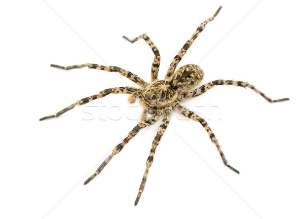 tarantulas spider Stock photo © alinamd