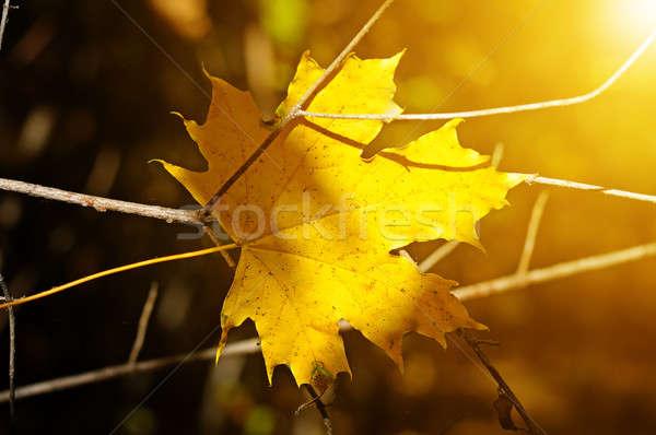 Giallo foglia d'acero offuscata albero foresta sole Foto d'archivio © alinamd