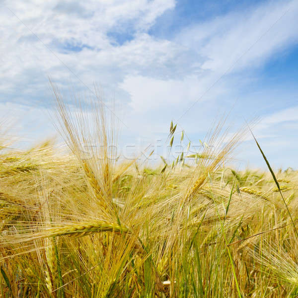 wheat field and blue sky Stock photo © alinamd