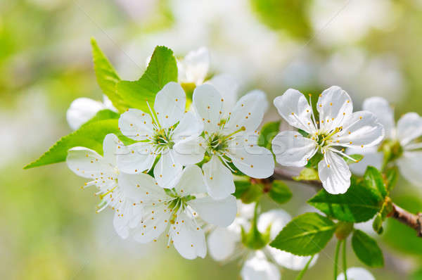 Virágzó cseresznye kék ég fókusz előtér sekély Stock fotó © alinamd