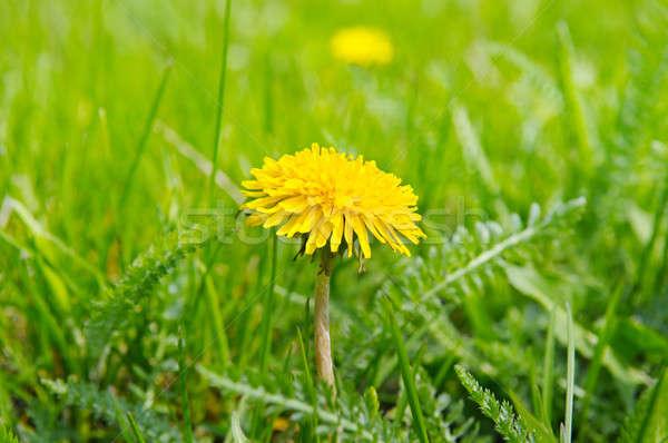 Stock fotó: Citromsárga · pitypangok · zöld · legelő · virágok · tavasz