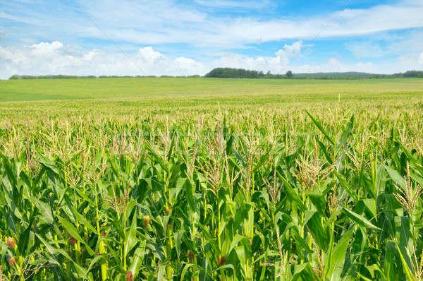 green corn field and blue sky Stock photo © alinamd