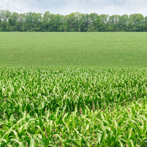 corn field with the young shoots Stock photo © alinamd