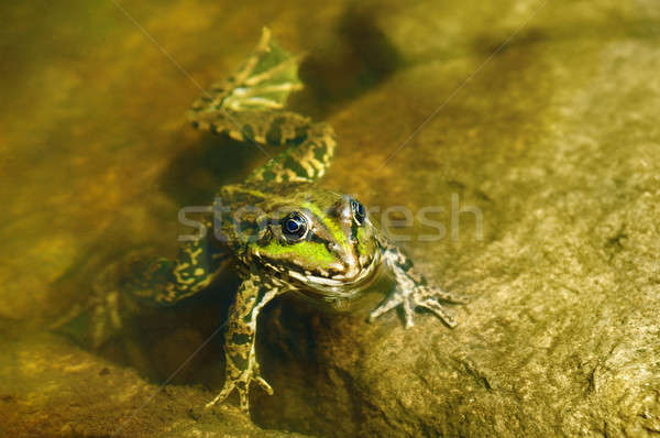 Comestível sapo lamacento água olho verão Foto stock © alinamd