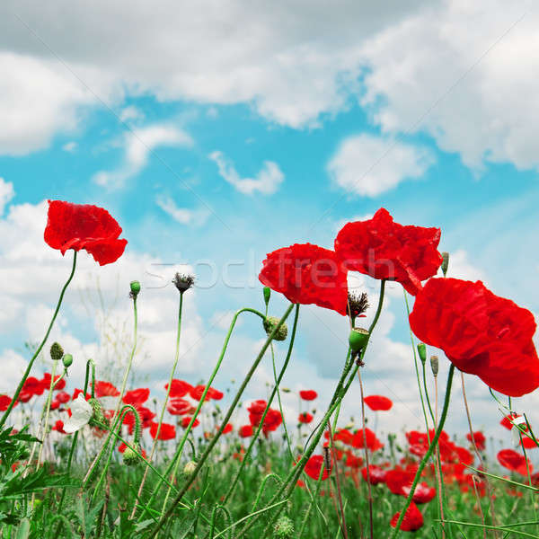 poppies and  cloudy sky Stock photo © alinamd