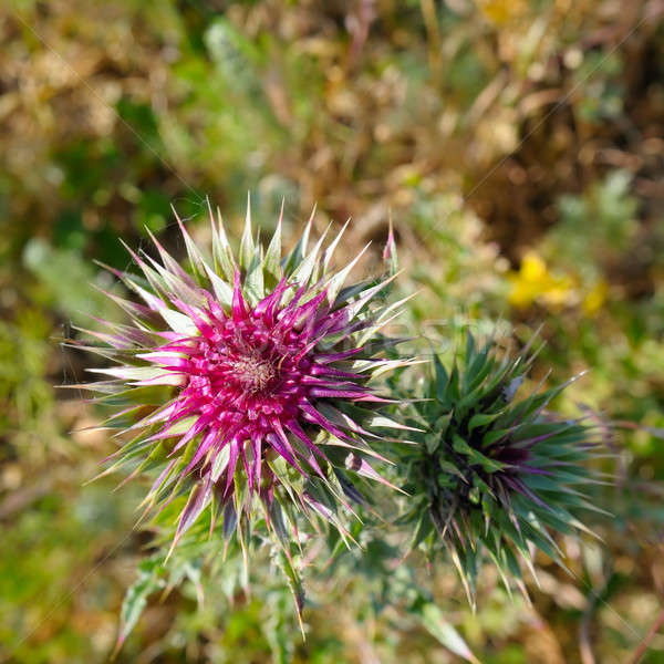 thistle flower on blurred green background Stock photo © alinamd