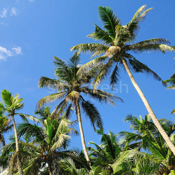 tropical palm trees and blue sky Stock photo © alinamd